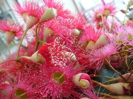 Gum nut flowers 1