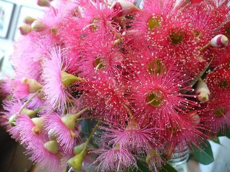Gum nut flowers 2